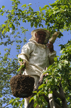 beekeeper: beekeeper holding a bee swarm, apiary, colony