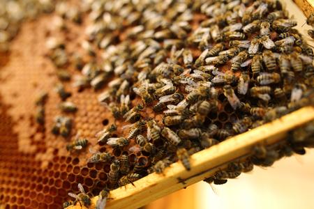abeja reina: abeja reina siempre está rodeado de los trabajadores - su sirviente