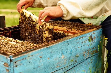 apiary: Beekeeper in his apiary with bees honeycomb