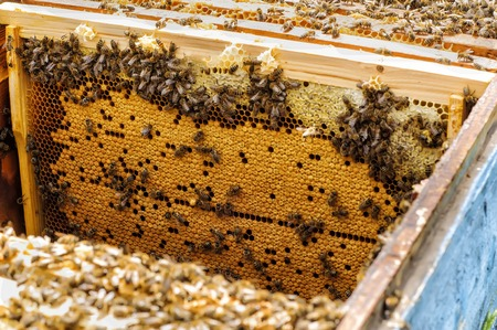 brood: Bee brood in the hive apiary beekeeping