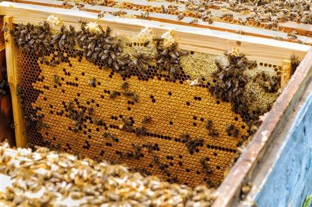brood: Bee brood in the hive apiary beekeeping