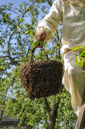 apiary: beekeeper holding a bee swarm, apiary, colony