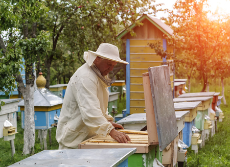 apiary: Beekeeper is working with bees and beehives on the apiary.