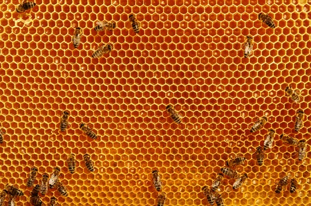 praiseworthy: Working bees on honeycomb backgrounds insects honey Stock Photo