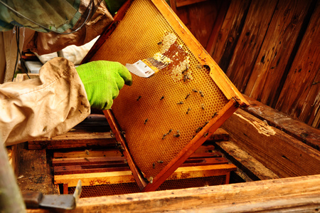 Close up of Old Man Human Hand Extracting Honey from Yellow Honeycomb Outdoor. Beekeeper Cuts Wax Off from Honeycomb Frame 写真素材