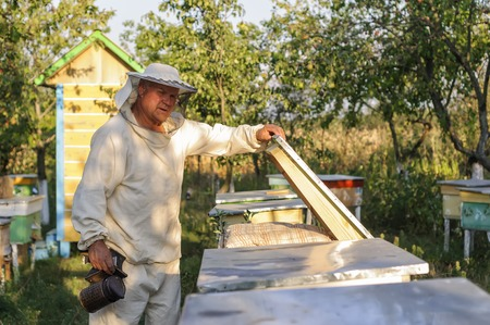 cluster house: Beekeeper is working with bees and beehives on the apiary. Beekeeper on apiary. Beekeeper pulling frame from the hive. Apiarist is working in his apiary. Stock Photo