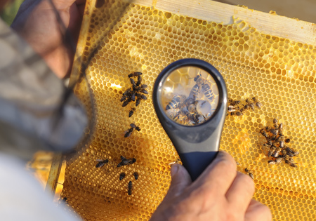 parasite: Beekeeper consider bees in honeycombs with a magnifying glass.