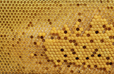 mellifera: Not capped brood cells of the honey bee