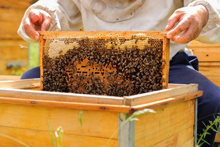 filled out: The beekeeper takes out from the hive honeycomb filled with fresh honey and Bees Broods.