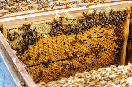 Bee larvae in the hive on a honeycomb. hive Stock Photo