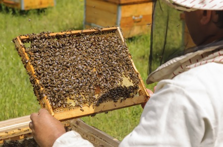 Beekeeper inspects bee family. Cell bees.