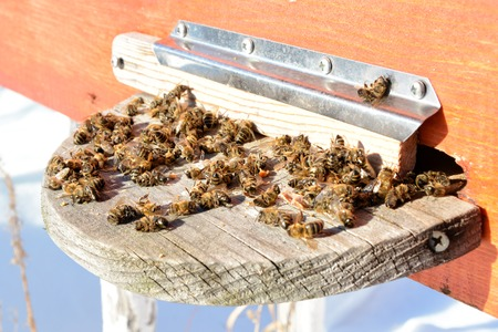 Dead honey bees - poisoned by pesticides and GMOs