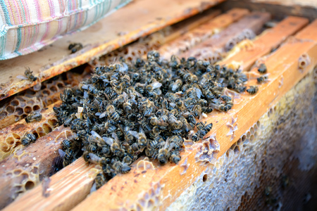 Dead bees in the hive to honey combs. Beekeeping. 写真素材