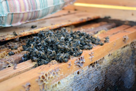 Dead bees in the hive to honey combs. Beekeeping. Stock Photo