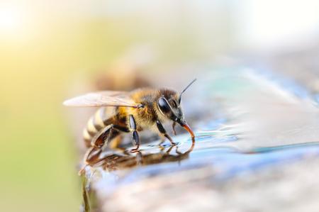 매크로 사진 꿀벌 마시는 물. 동물과 물.