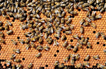 testes: Bees on honeycombs heated bee brood. Apiculture. Stock Photo