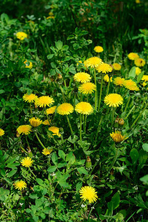 Close up of blooming yellow dandelion flowers Taraxacum officinale in garden on spring time. Honey plant. Apiculture.