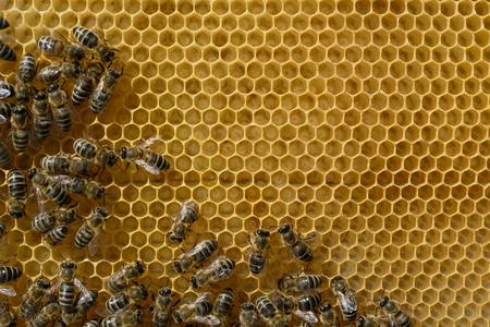 Les abeilles nourries et réchauffées aux jeunes larves en nid d'abeille. Apiculture. Banque d'images - 77680166