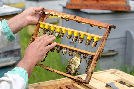 The beekeeper inspects a frame which raised new queen bees. Karl Jenter. Apiculture Stock Photo