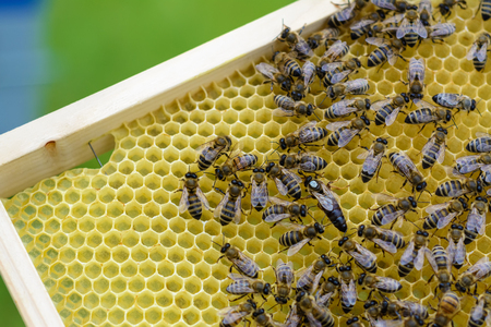 Queen bee is always surrounded by the workers - their servant. Apiculture Stock Photo