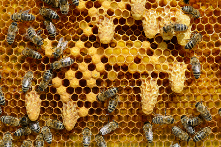 Waxen cottages for growing of chapter of bee family. TThe birth of a new queen of bees. Фото со стока
