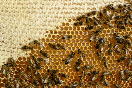 Closeup view of the working bees on honeycomb. Honeycomb with bees background. Stock Photo