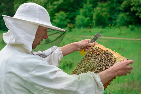 The beekeeper holds a honey cell with bees in his hands. Apiculture. Apiary.