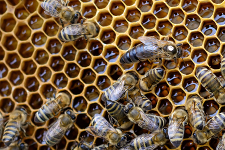 Bees inside a beehive with the queen bee in the middle. Stock Photo