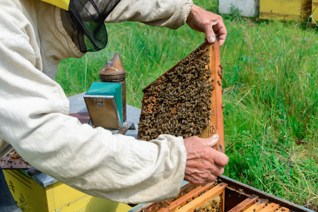 Beekeeper holding a honeycomb full of bees. Beekeeper in protective workwear inspecting honeycomb frame at apiary. Beekeeping concept.