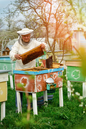 Beekeeper holding a honeycomb full of bees. Beekeeper in protective workwear inspecting honeycomb frame at apiary. Works on the apiaries in the spring.