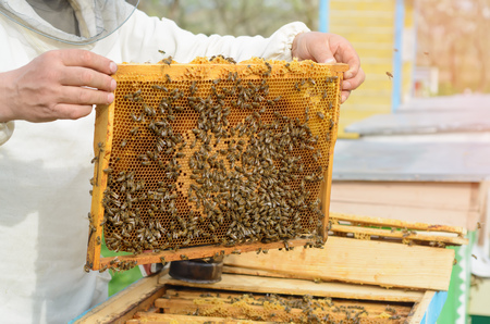 Beekeeper holding a honeycomb full of bees. Works on the apiaries in the spring Stock Photo