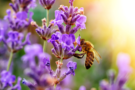 The bee pollinates the lavender flowers. Plant decay with insects. Stock Photo