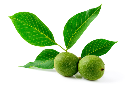 Green walnut on a twig with leaves on a white background.