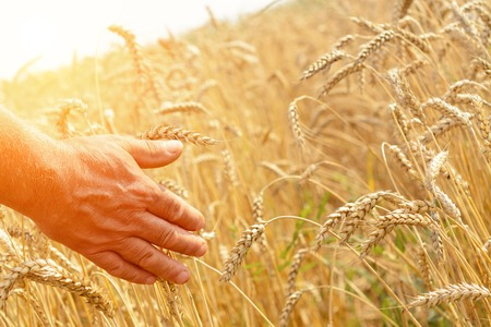 A man with his back to the viewer in a field of wheat touched by the hand of spikes in the sunset light. The concept of farming. Rich harvest Concept