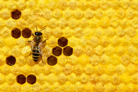 Bee on a cell with larvae. Bees Broods. Concept of beekeeping. Stock Photo