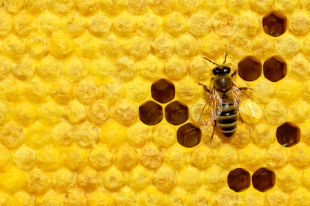 Macro photo of honey bee on a honeycomb with bee larvae. Reproduction of bees. Bees Broods.