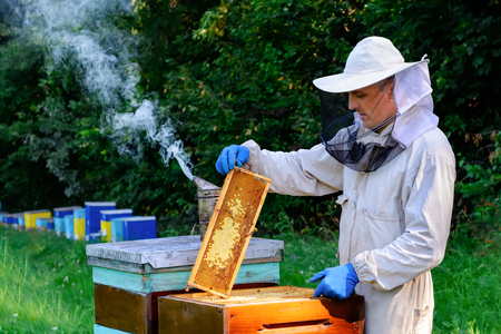 Beekeeper in protective workwear inspecting frame at apiary. The beekeeper holds a honeycomb with fresh honey in his hands.