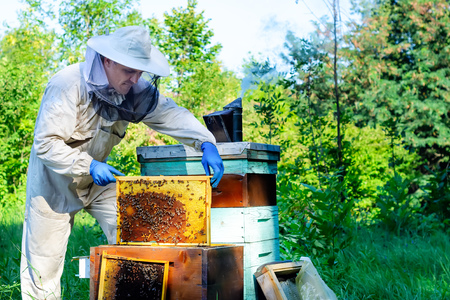 Closeup portrait of beekeeper holding a honeycomb full of bees. Beekeeper in protective workwear inspecting honeycomb frame at apiary. Beekeeping concept. Beekeeper harvesting honey. Stock Photo
