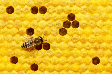 Bee on a cell with larvae. Bees Broods. Concept of beekeeping. Space for text.