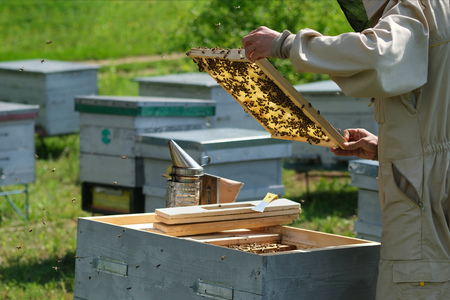 Beekeeper on apiary. Beekeeper is working with bees and beehives on the apiary. 写真素材