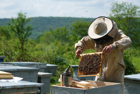 Man holding a honeycomb full of bees. Beekeeper in protective workwear inspecting frame at apiary.