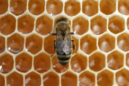 Working bee on honeycells. Concept of beekeeping 写真素材