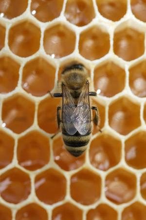 Macro photo working bee on honeycells. Concept of beekeeping