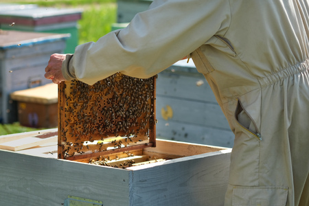 Man holding a honeycomb full of bees. Beekeeper in protective workwear inspecting frame at apiary