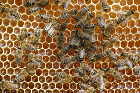 Bees on a honeycomb with fresh honey