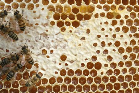 Abejas en un panal con miel fresca Foto de archivo