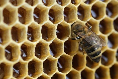 Macro photo working bee on honeycells. Fresh honey. Concept of beekeeping.
