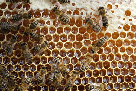 Bees on a honeycomb with fresh honey.