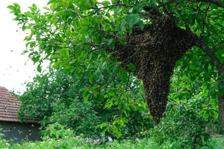 Swarming bees. Formation of a new colony family bees. Bees that can fly at some point fly out of the hive. They re going on a branch of a tree.