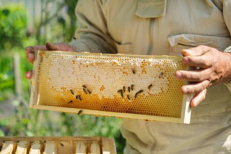 Beekeeper holding a honeycomb full of bees. Beekeeper inspecting honeycomb frame at apiary. Fresh honey.